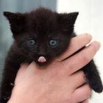 抱っこされた子猫の黒猫