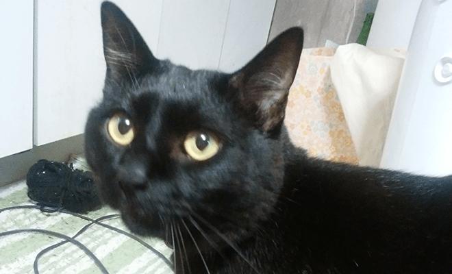 名前:クロ 年齢:2歳 性別:オス  種類:雑種(黒猫)