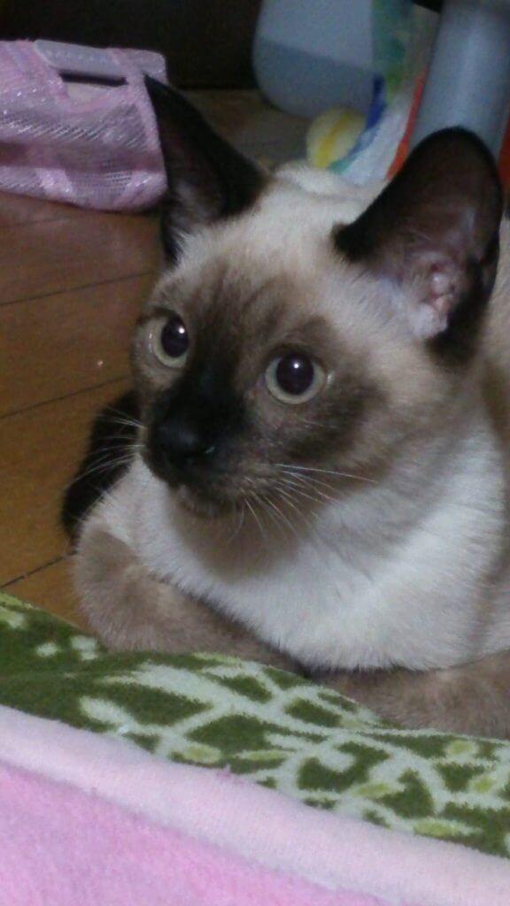 名前:マロミ 年齢:1歳2ヶ月 性別:メス 種類:ミックス(トラとシャム)