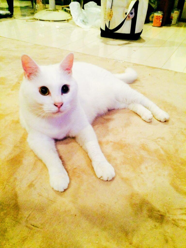 名前:幸(ゆき) 年齢:5歳 性別:オス 種類:白猫