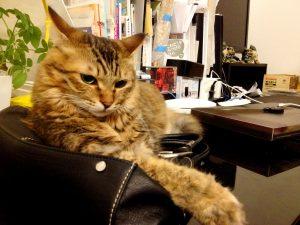 名前:紅緒 年齢:6歳 性別:メス 種類:キジトラ猫