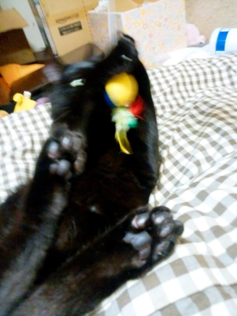 名前:クロ 年齢:2歳 性別:オス  種類:雑種(黒猫)遊び