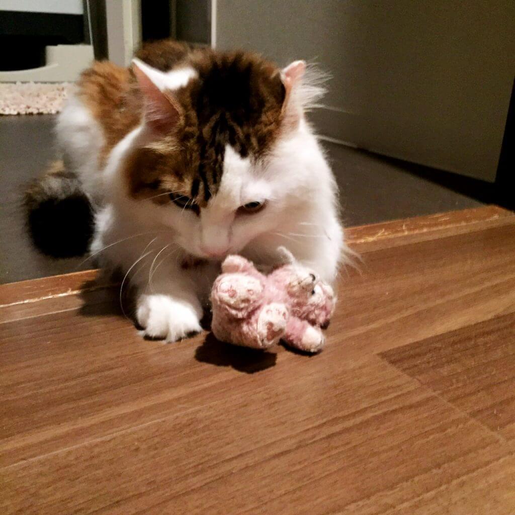 名前:キティ 年齢:3歳 性別:オス 種類:雑種 遊び