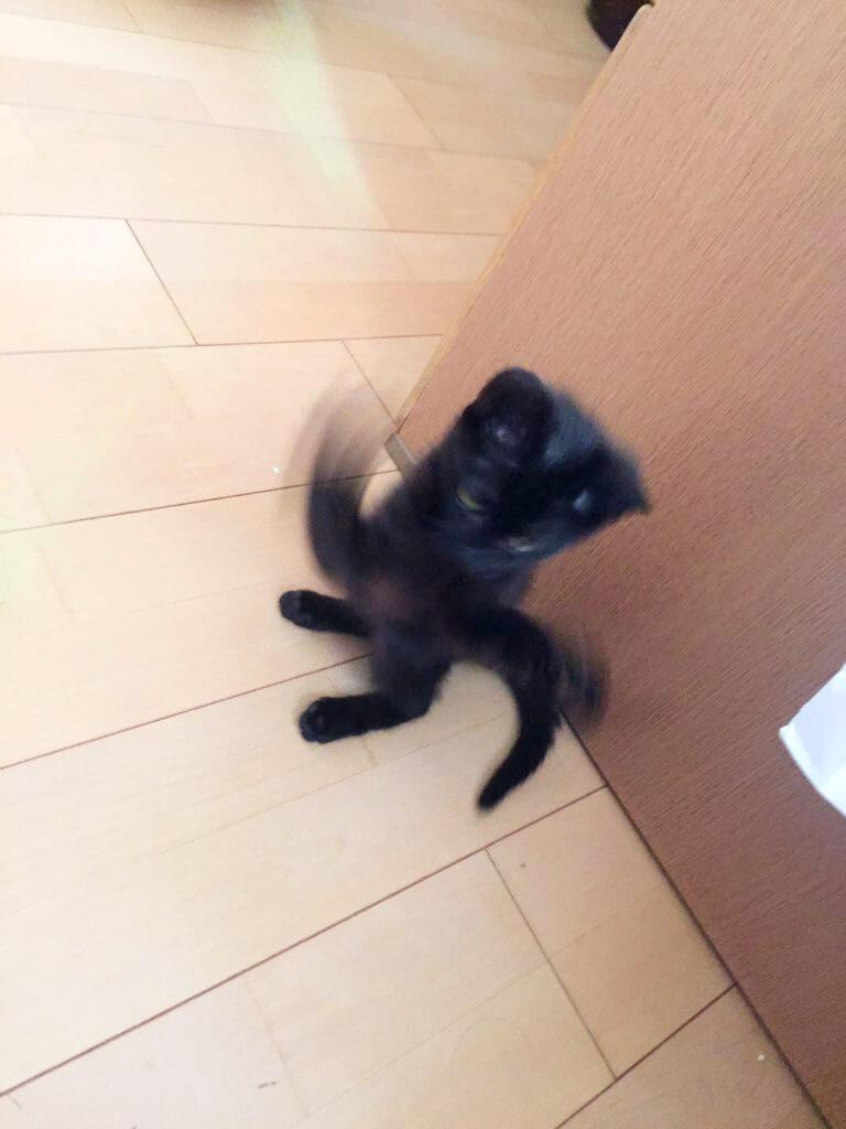 杏 3か月 メス 黒猫 遊び