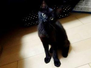 杏 3か月 メス 黒猫