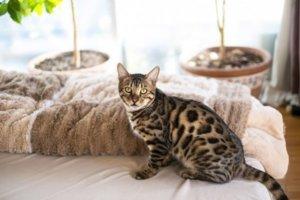 布団の上のベンガル猫