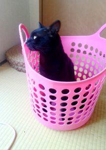名前:幸子 年齢:1歳 性別:オス 種類:黒猫(雑種)