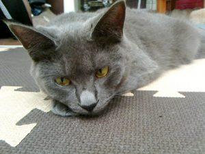 名前:ニロ 年齢:1歳 性別:メス 種類:灰猫(雑種)