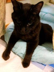 名前:ミク 年齢:19歳 性別:オス 種類:黒猫