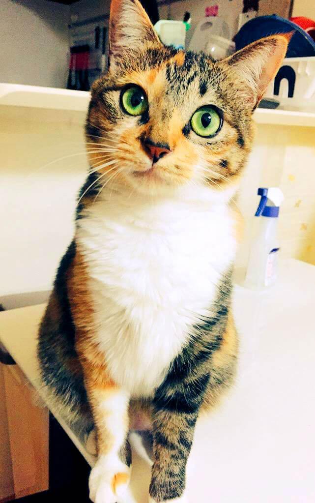 名前:まる 年齢:3歳 性別:メス 種類:三毛猫