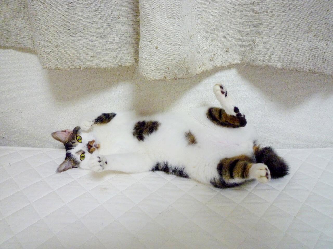 名前:ネム 年齢:4歳 性別:オス 種類:クロシロ猫(雑種)遊び
