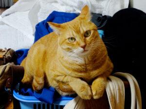 名前:ちこ 年齢:4歳 性別:メス  種類:日本猫(茶トラ)
