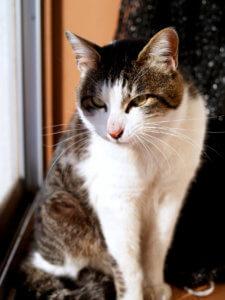 名前:ポンタ君 年齢:5歳半 性別:オス 種類:キジ白猫