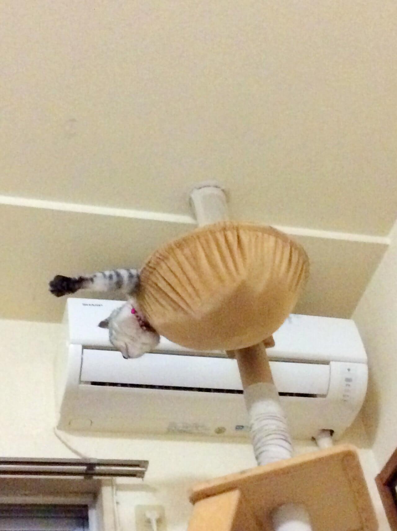 名前:チロル 年齢:4歳 性別:メス  種類:日本猫 遊び