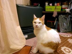名前:ちくわ 年齢:10ヶ月 性別:オス  種類:日本猫(三毛)