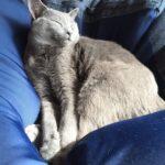 ソファーの上で寝るシャルトリュー