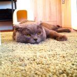 絨毯に寝転ぶシャルトリュー